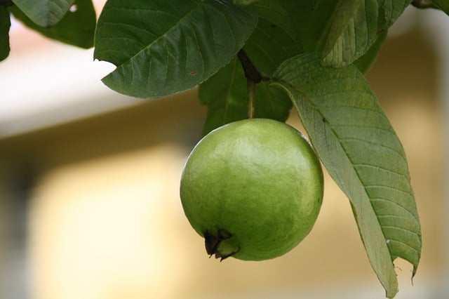 guava Constipation