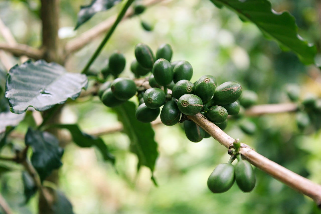 Benefits of Green Coffee, Recipe and Side Effects