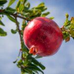 Health Benefits Of Solapur Pomegranate