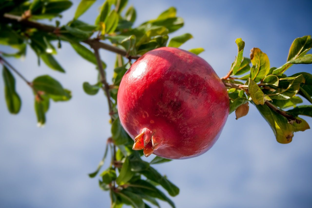 Health Benefits Of Solapur Pomegranate