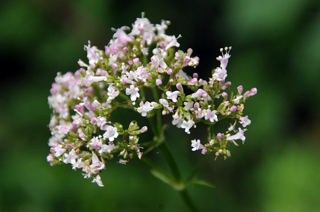 valerian Home remedies to quit smoking