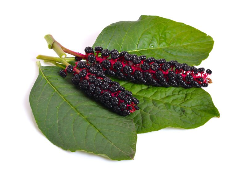 Phytolacca Berry for Weight Loss
