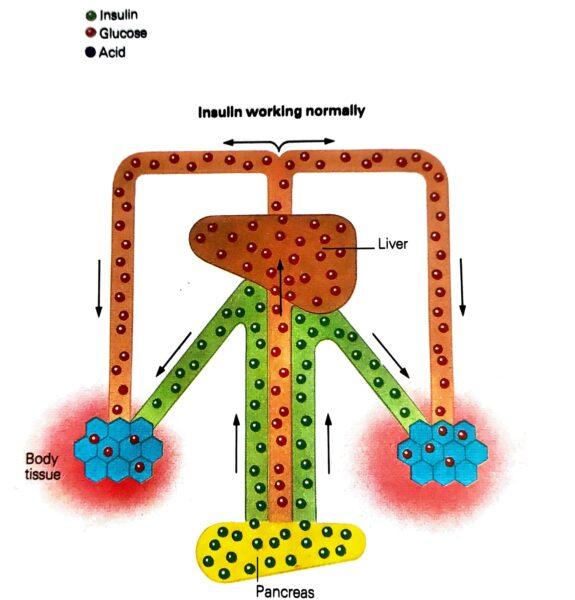 how insulin starts